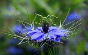 Schwarzkümmelpflanze - Nigella sativa